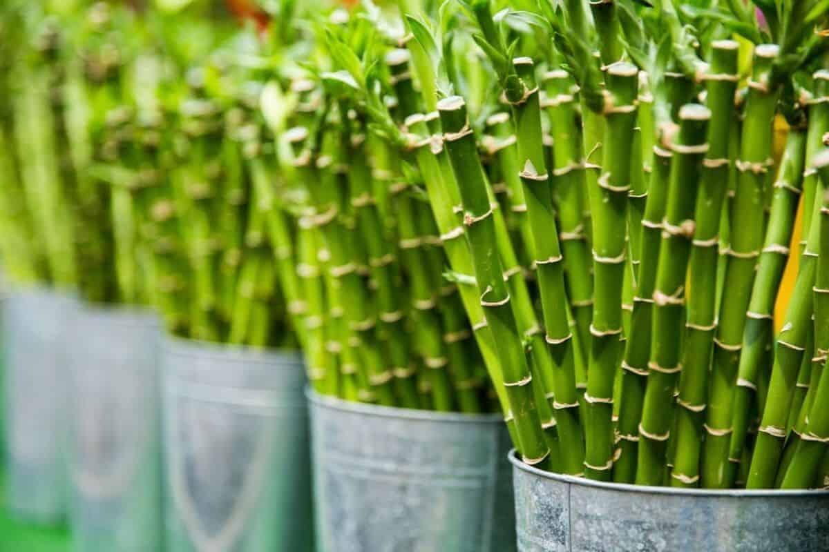 خيزران بامبو - orchidfulifestyle